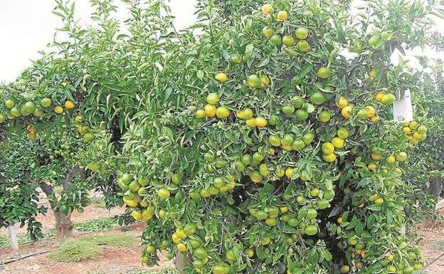 Las mandarinas de Sudáfrica arrebatan las ventas en el exterior a ... 5263bc861d3