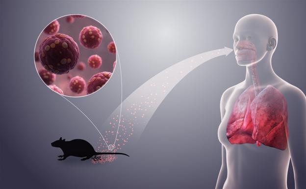 Qué es el Hantavirus: síntomas y cómo se transmite
